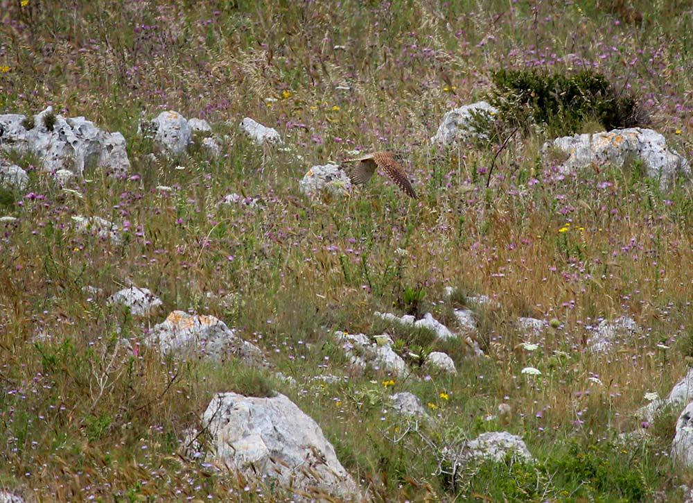 birdwatching gheppio in volo casa vacanze la scisa appartamenti nel salento