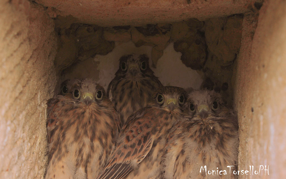 birdwatching pulcini di gheppio casa vacanze la scisa appartamenti nel salento