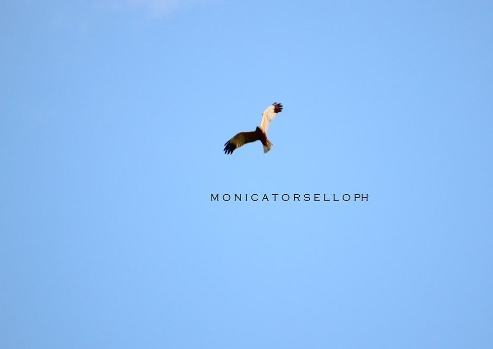birdwatching falco di palude casa vacanze la scisa appartamenti nel salento