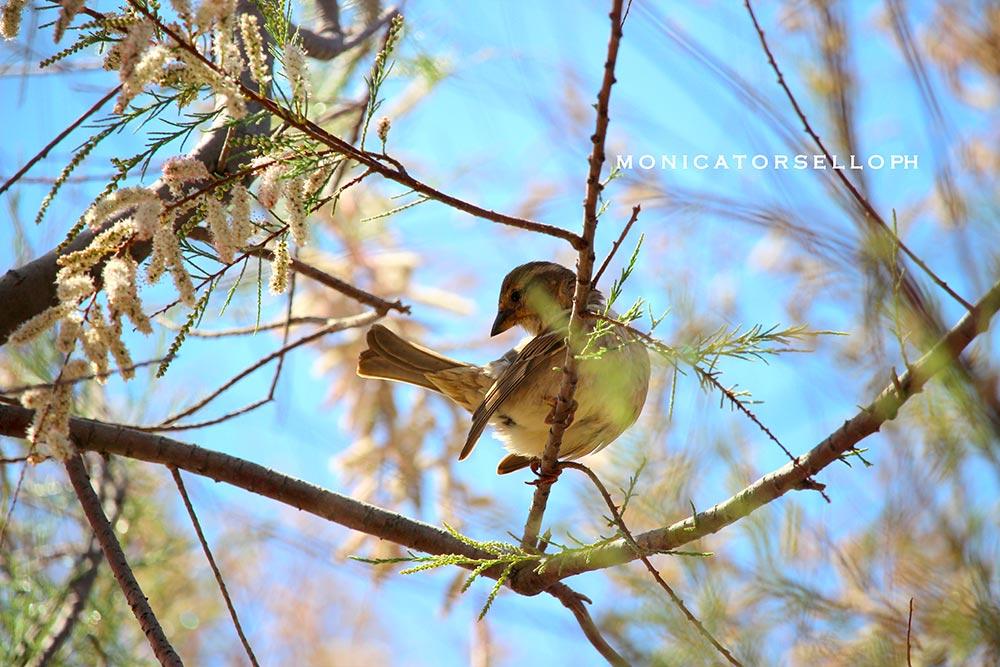 birdwatching passero femmina casa vacanze la scisa appartamenti nel salento