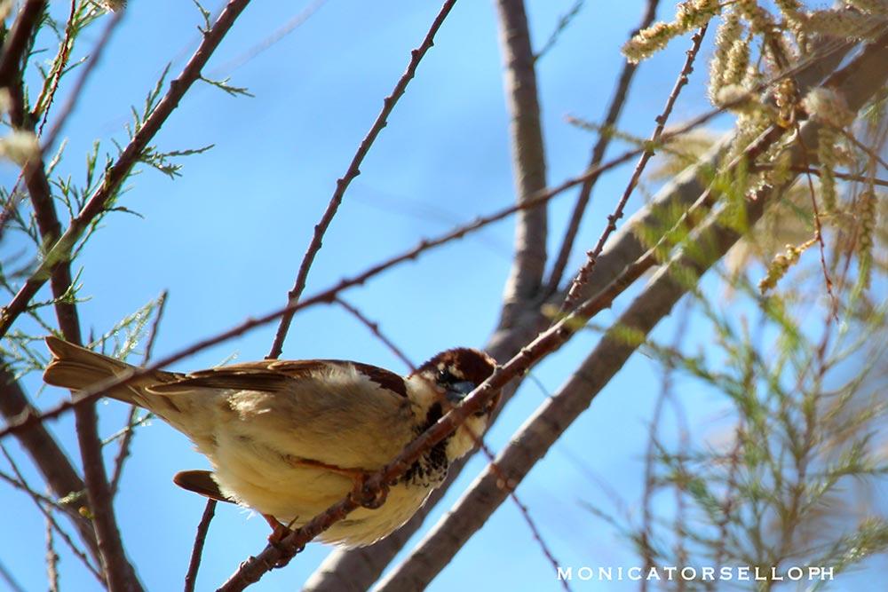 birdwatching passero maschio casa vacanze la scisa appartamenti nel salento